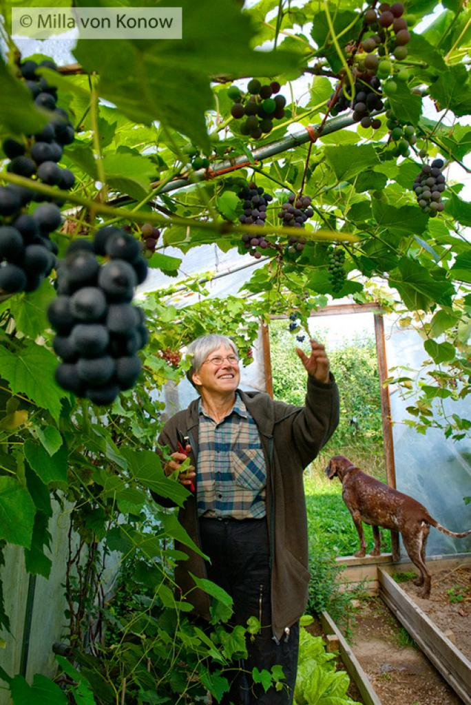 Viini kasvaa Suomessa