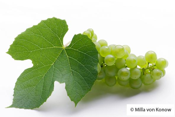pohjoinen viinirypäle